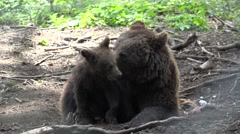 Cute cub bear and his mother Stock Footage