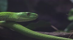 Close-up detail portrait of green mamba snake hunting in the dark forest Stock Footage