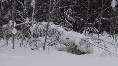 Winter scene. Fallen tree. Snow. Winter forest. Winter. Stock Footage