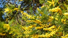 Australia plants - early black wattle Stock Footage