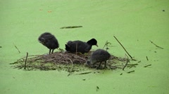 Black coots in their nest on water Stock Footage