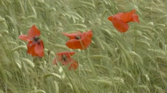 Poppies gently swaying in the wind in a field in Scotland - stock footage