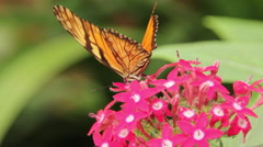 Julia Butterfly Drinking Nectar on Flowers Stock Footage
