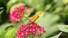 Julia Butterfly on Flowers Stock Footage