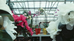 Azalea flowers in the greenhouse Stock Footage