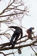 Tree surgeons trimming a tree - stock photo