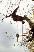 Tree surgeon trimming a tree Stock Photos