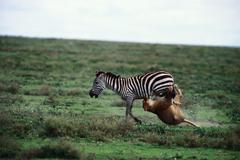 Lion attacking zebra Stock Photos
