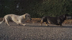 Dachshunds Walking In A Sunny Park Stock Footage