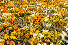 Blooming pansy flowers as background Stock Photos