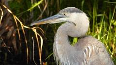Portrait of Great blue heron preening Stock Footage