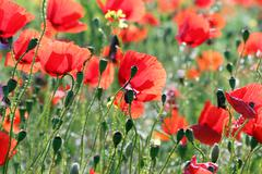 Stock Photo of Poppies flower field spring season