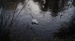 Elegant Swans Feeding On Lake Stock Footage
