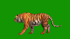 Tiger, wild animal isolated on green background Stock Footage