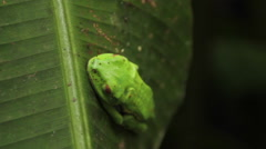 Red-eyed Tree Frog Sleeps on Leaf Stock Footage