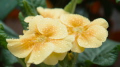 Drops of water fall on a yellow flower - stock footage