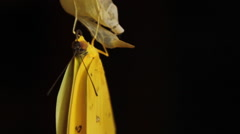 Orange-barred Sulphur Butterfly Emerging from Chrysalis Stock Footage