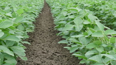 Agriculture soy bean plant in field Stock Footage
