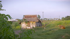 Establishing shot of a rustic abandoned house with a brown cow laying nearby Stock Footage