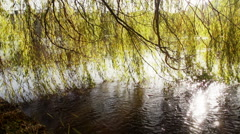 Weeping Willow On The Banks Of A River At Sunset - stock footage