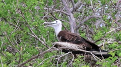 Baby Magnificent Frigatebird on North Seymour Island, Galapagos, Ecuador Stock Footage