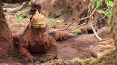 Galapagos Land Iguana (Conolophus subcristatus) on North Seymour island, Gala Stock Footage