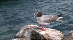 Swallow-tailed Gul on North Seymour island, Galapagos, Ecuador Stock Footage