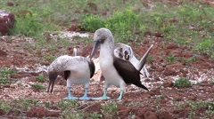 Blue-footed Boobies mating on North Seymour Island, Galapagos, Ecuador Stock Footage