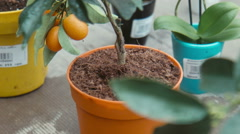Citrus flower in the greenhouse Stock Footage