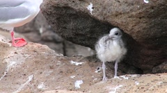 Baby Swallow-tailed Gull on North Seymour island, Galapagos, Ecuador Stock Footage