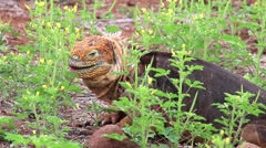 Galapagos Land Iguana eating flowers (Conolophus subcristatus), on North Seym - stock footage