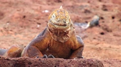 Galapagos Land Iguana on North Seymour island, Galapagos, Ecuador Stock Footage
