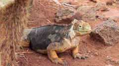 Galapagos Land Iguana on North Seymour island, Galapagos, Ecuador Stock Footage