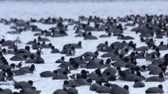Very Large flock of Coot at their winter home on a lake Stock Footage