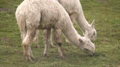 Alpacas Eating Stock Footage