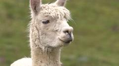 Alpaca Close Up Stock Footage