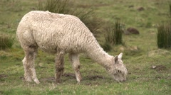 Alpaca Eating Grass - stock footage