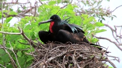 Male Magnificent Frigatebird (Fregata magnificens) on North Seymour Island, G Stock Footage
