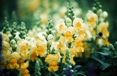 Yellow antirrhinums Stock Photos