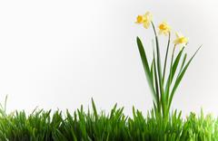 Daffodils in grass - stock photo