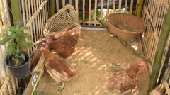 Hens feeding in cage. - stock footage