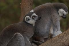 Lemur, Lemuroidea - stock photo