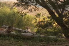 The lioness, Panthera leo - stock photo