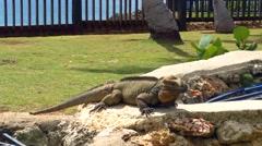 Iguana on a stone, at santo domingo, dominican republic Stock Footage