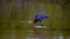 Reddish Egret Hunting Slow Motion Stock Footage