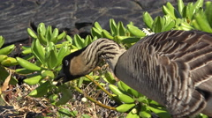 Hawaiian goose or Nene eats leafs on lava rocks - Hawaii Stock Footage