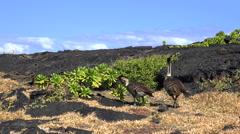 Hawaiian goose or Nene eats leafs on lava rocks - Hawaii Stock Footage