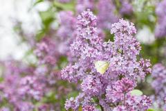 green-veined white butterfly on lilac bush beautiful spring background - stock photo