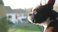 Boston Terrier Dog with Head out Truck Window on Country Farm Road Stock Footage