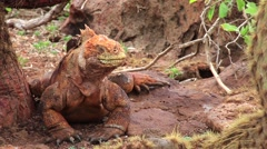 Galapagos Land Iguana (Conolophus subcristatus) on North Seymour island, Gala Stock Footage